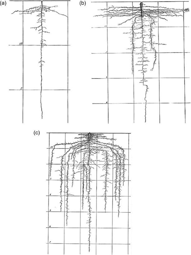 Ilustración de desarrollo temprano (a), medio (b) y completo (c) de la raíz de zanahoria.