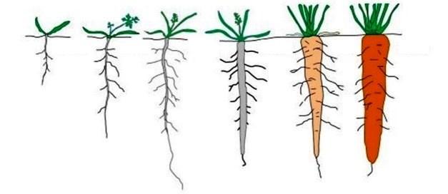 Ilustración largo raíz zanahoria