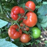 Planta tomate besuto
