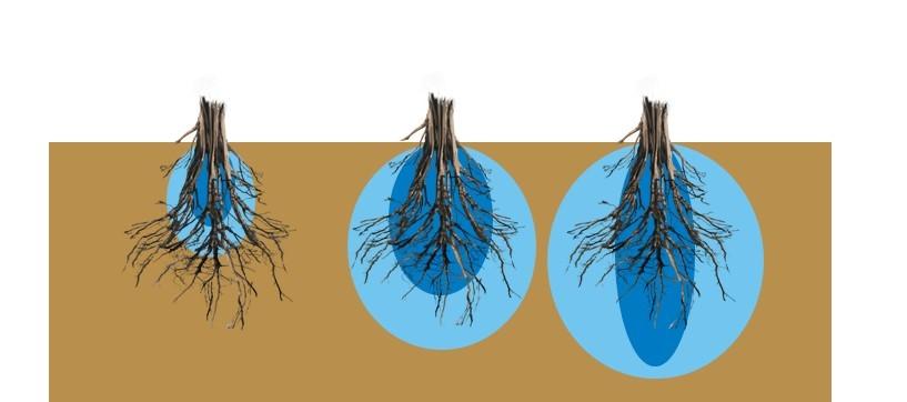 Gráfica de Bulbo adecuado a tamaño y forma de raíz