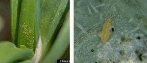 Huevos y larvas trips cebolla
